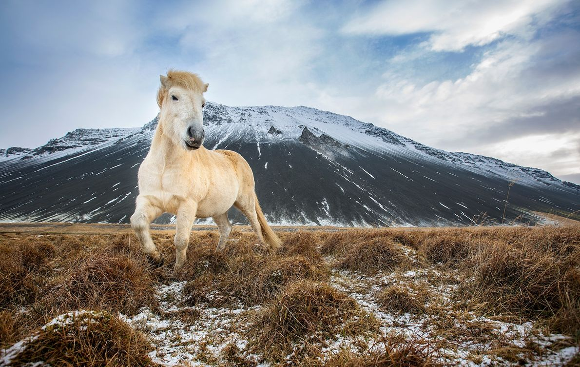 Pferd auf Island