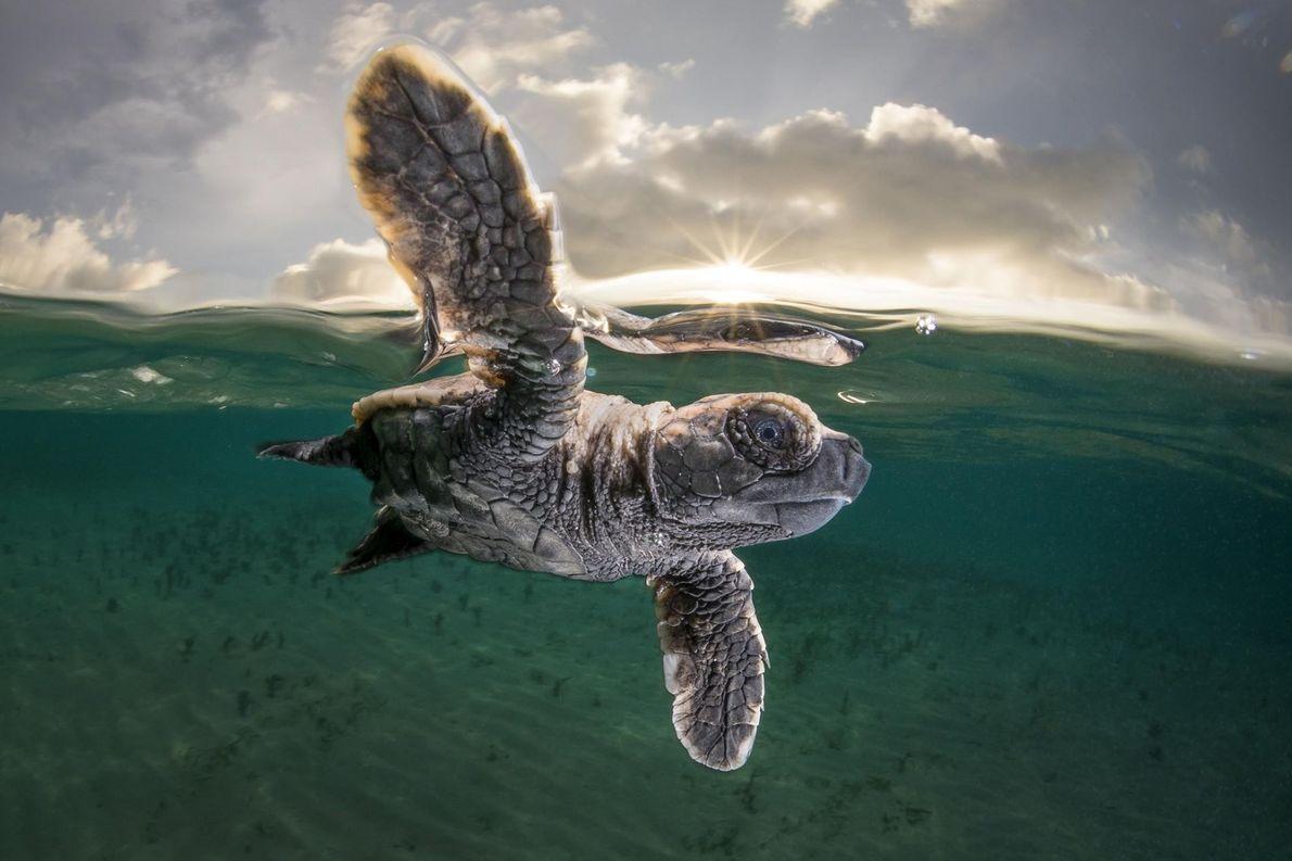 Your Shot-Fotograf Matthew Smith hat diese umwerfende Nahaufnahme einer frisch geschlüpften Echten Karettschildkröte in der Bismarcksee ...