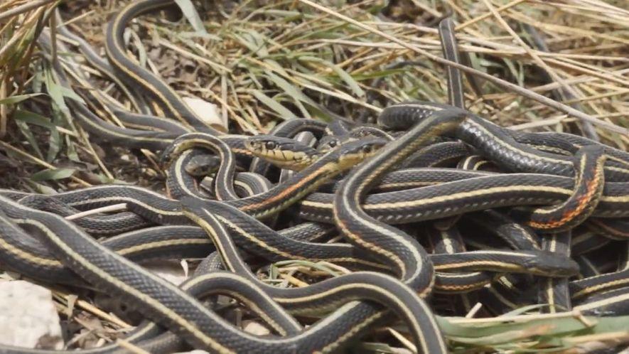 Sexorgien männlicher Schlangen verkürzen deren Lebensdauer