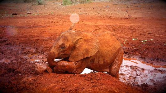 Babyelefant verliert durch Wildererschlinge fast seinen Rüssel