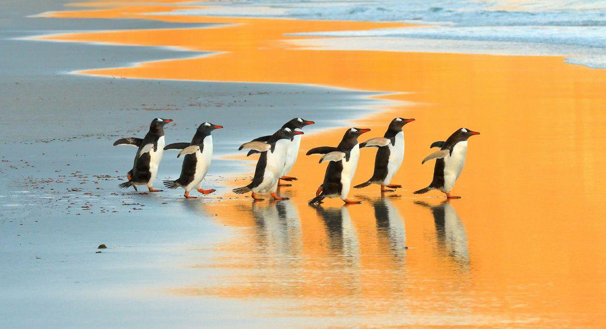 Eselspinguine auf den Falklandinseln