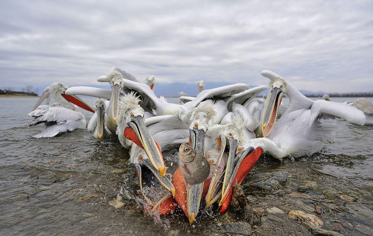 Pelikane angeln sich eine Mahlzeit