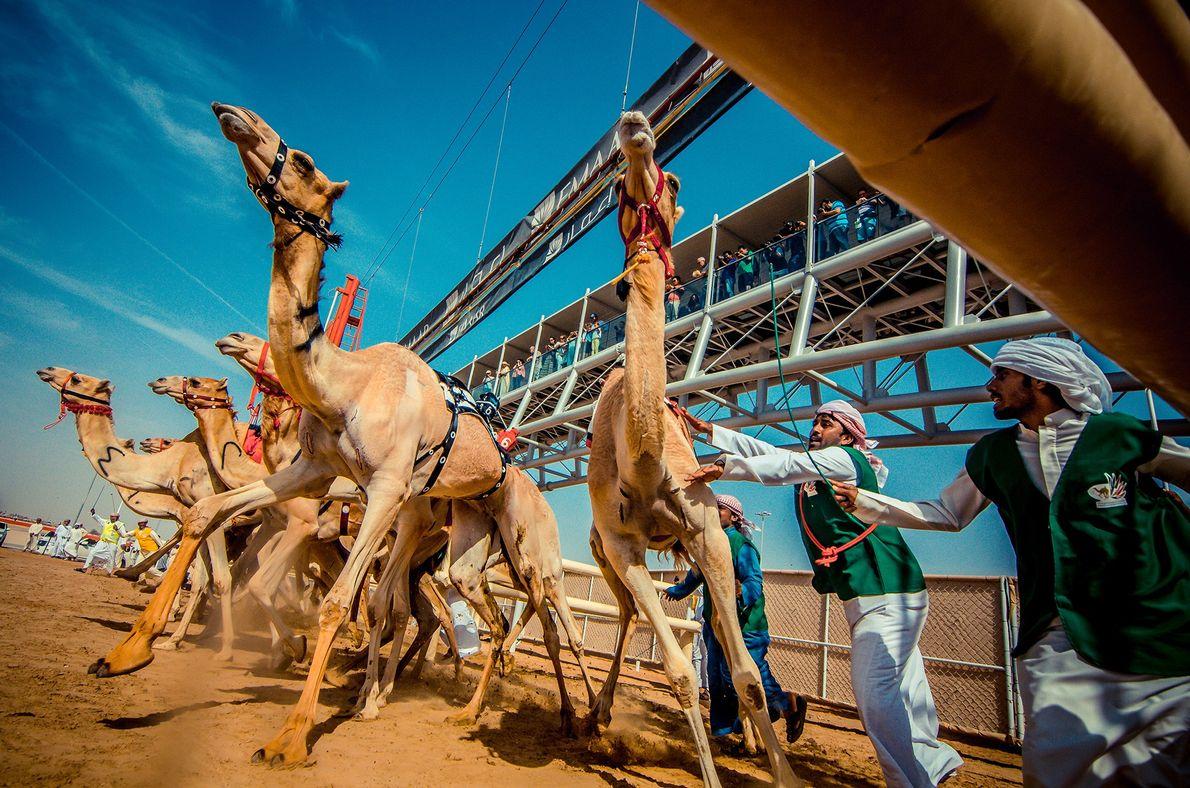Der Start eines Kamelrennens in Dubai