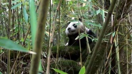 In Gefangenschaft geborener Panda erlebt Durchbruch in der Wildnis