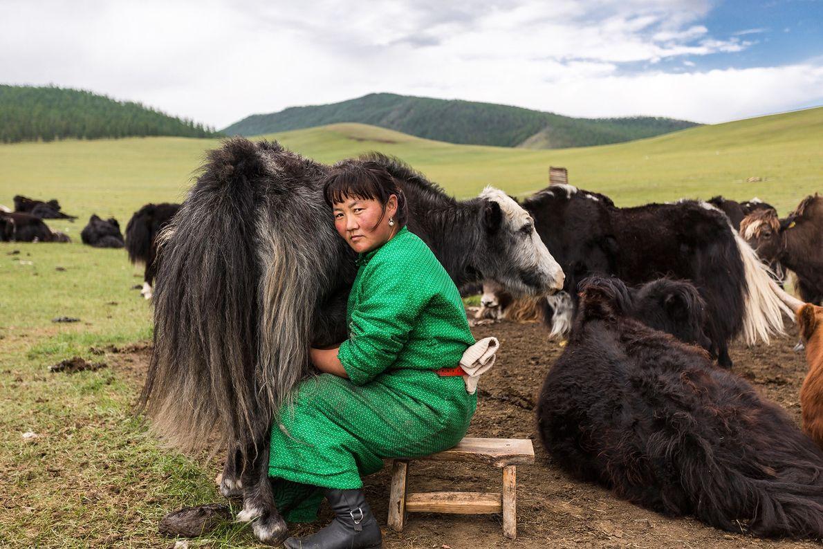 Mongolische Frau melkt ein Yak