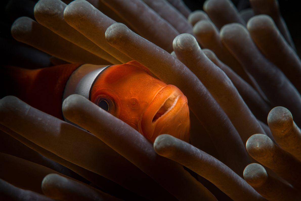 Clownfisch in einer Anemone