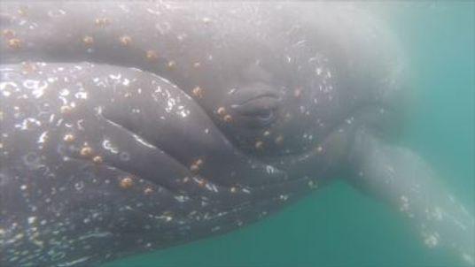 Kameras an Buckelwalen filmen das Leben der großen Meeressäuger