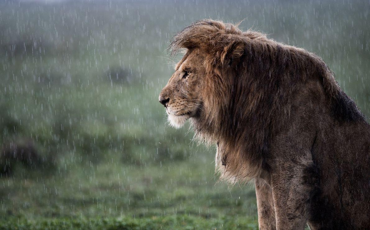 Ein afrikanischer Löwe im Regen