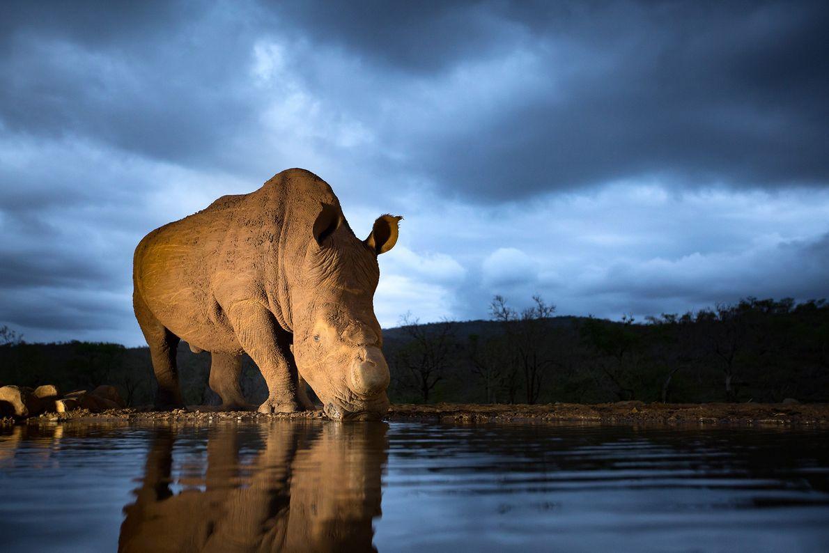 Ein Nashorn trink an einem Wasserloch