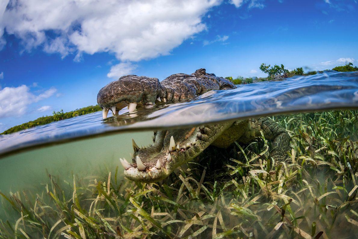 Ein Krokodil in Kuba