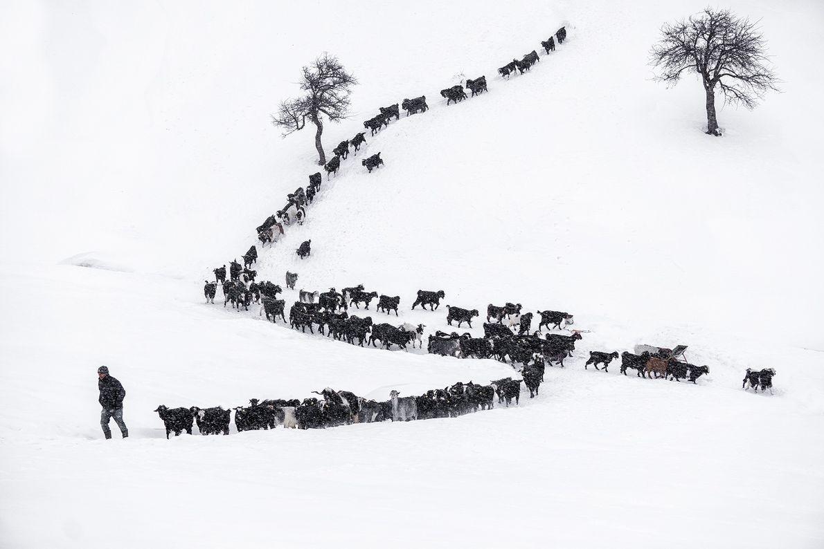 Eine Ziegenherde im Schnee, Türkei