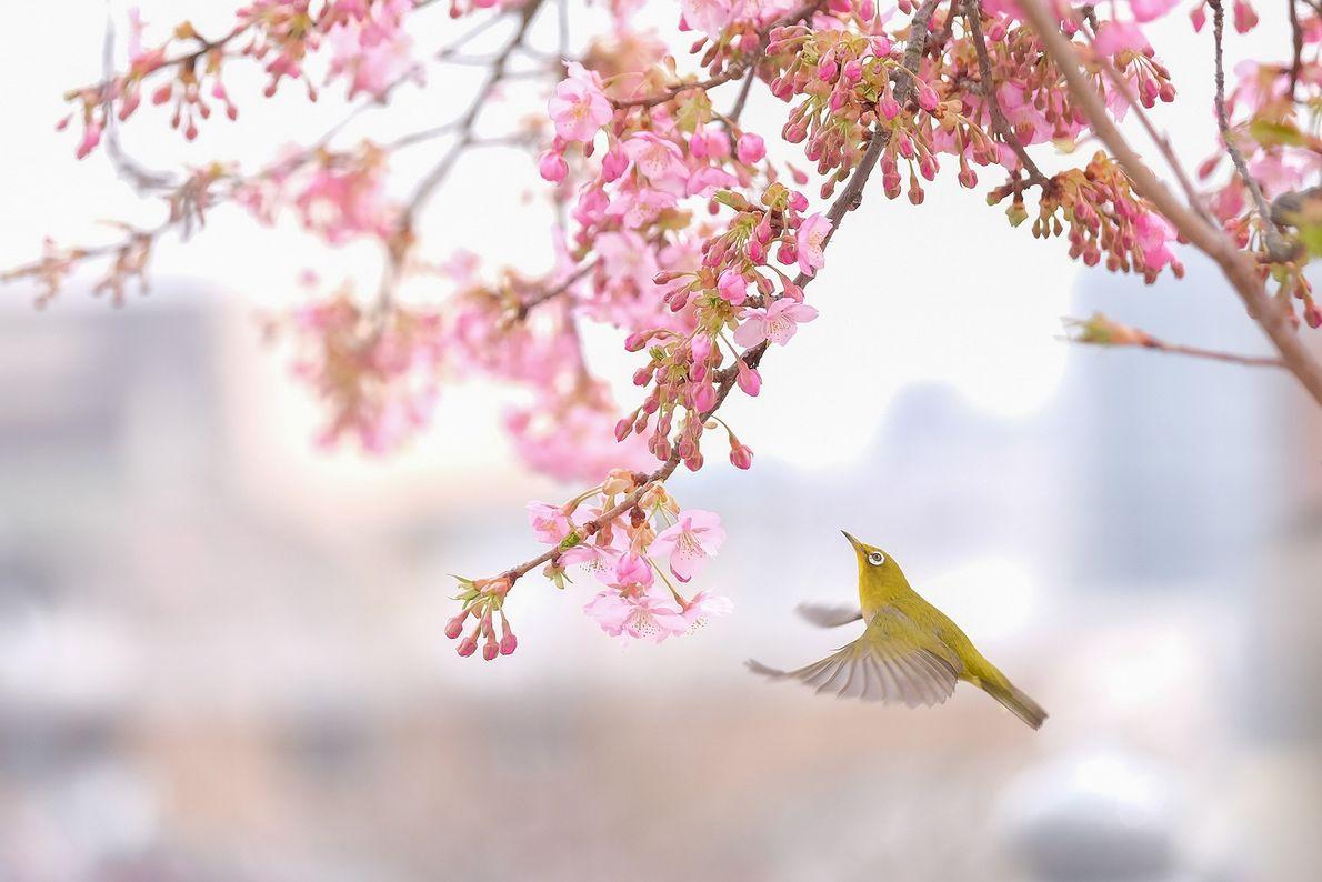 Ein Vogel und Kirschblüten in Japan