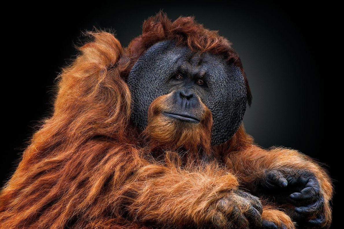 Ein männlicher Orang-Utan mit großen Wangenwülsten