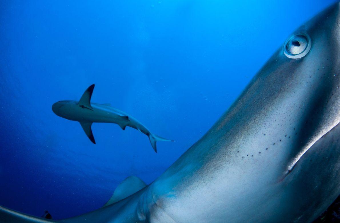 Riffhaie in der Karibik