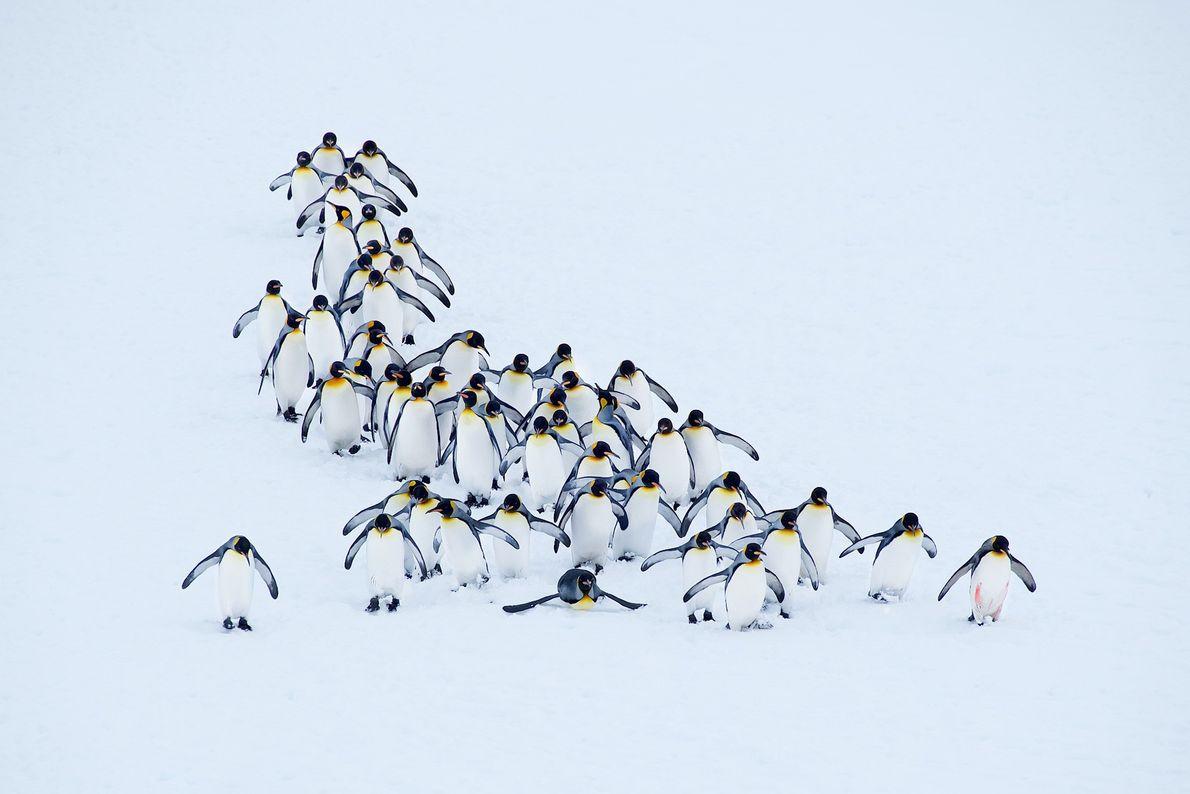 Pinguine auf Südgeorgien