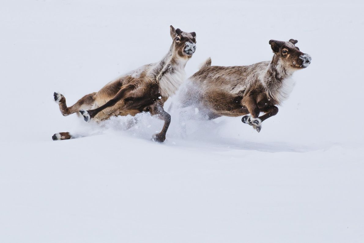 Zwei Rentiere rutschen aus, als sie durch den Schnee rennen