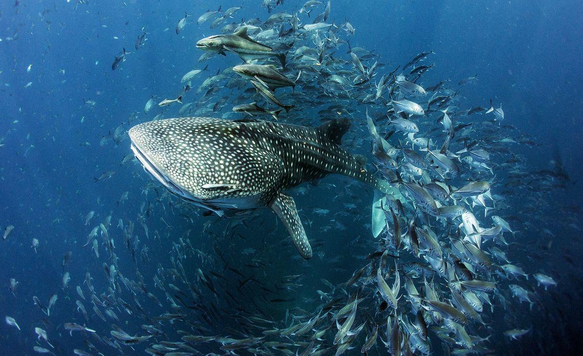 Ein Walhai schwimmt durch einen Fischschwarm