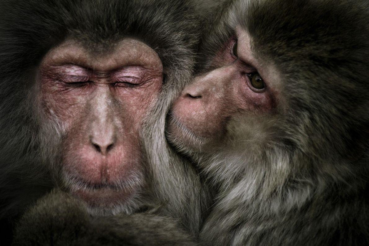 Zwei Makaken in Japan beschnüffeln sich
