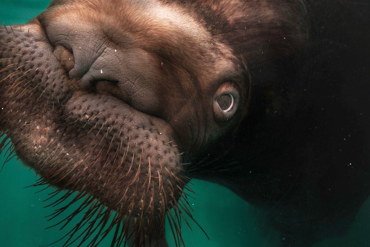 Ein Walross in einem japanischen Aquarium