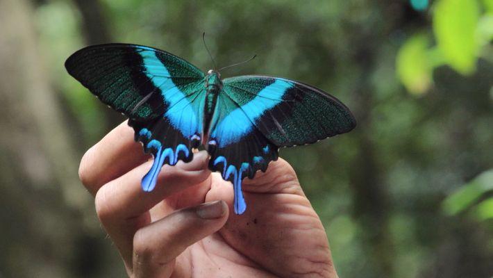 Das Leben der Schmetterlingshändler