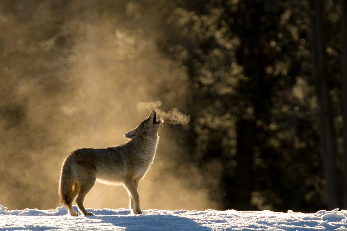 Ein Kojote im Yellowstone-Nationalpark heult