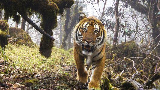 Extrem seltene Aufnahmen von wilden Tigern in Bhutan