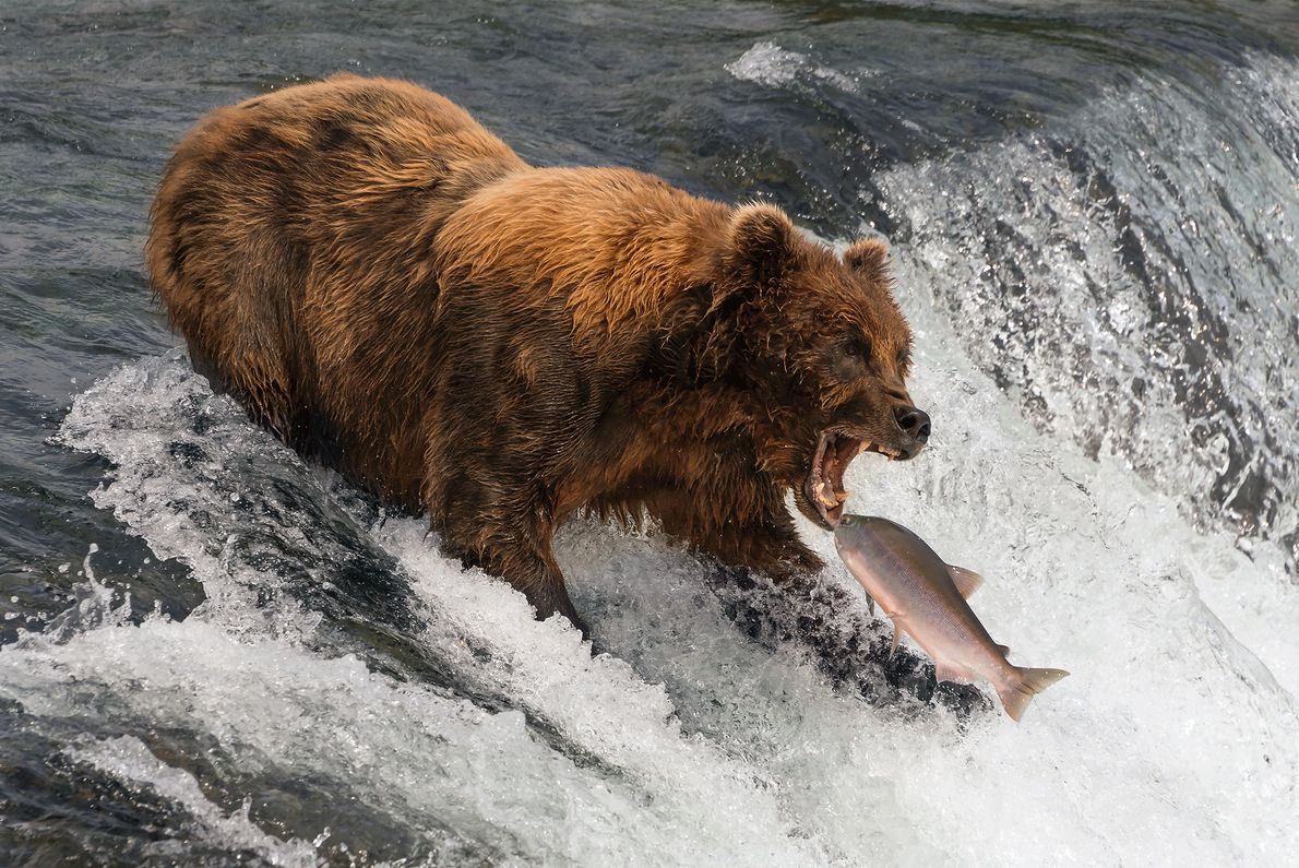 Ein Lachs springt in Alaska einem Bären ins Maul