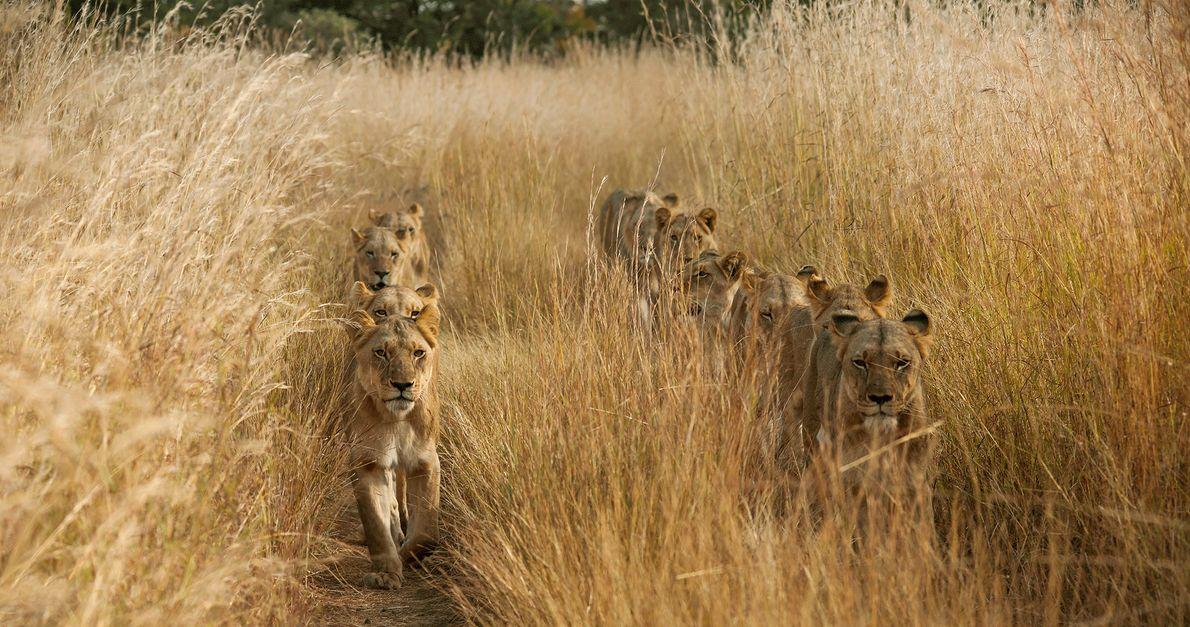 Löwen laufen in zwei Reihen durch das hohe Gras in Sambia