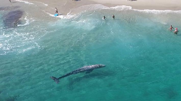 Drohnenaufnahme: Junger Grauwal schwimmt mit Badegästen