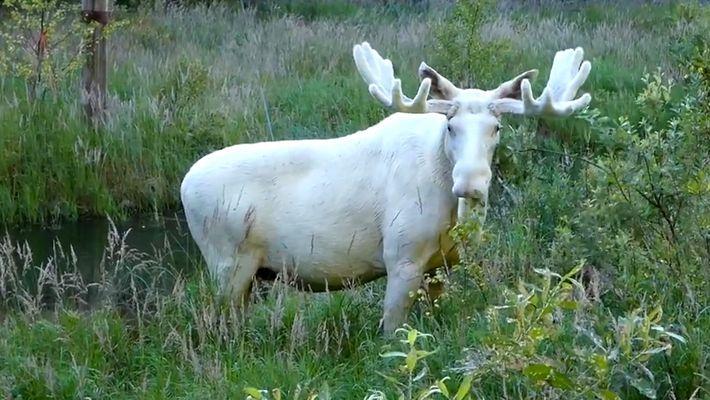 Seltener weißer Elch in Schweden gesichtet.