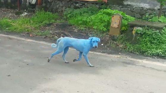 Indiens blaue Hunde: Was verursacht die Färbung?