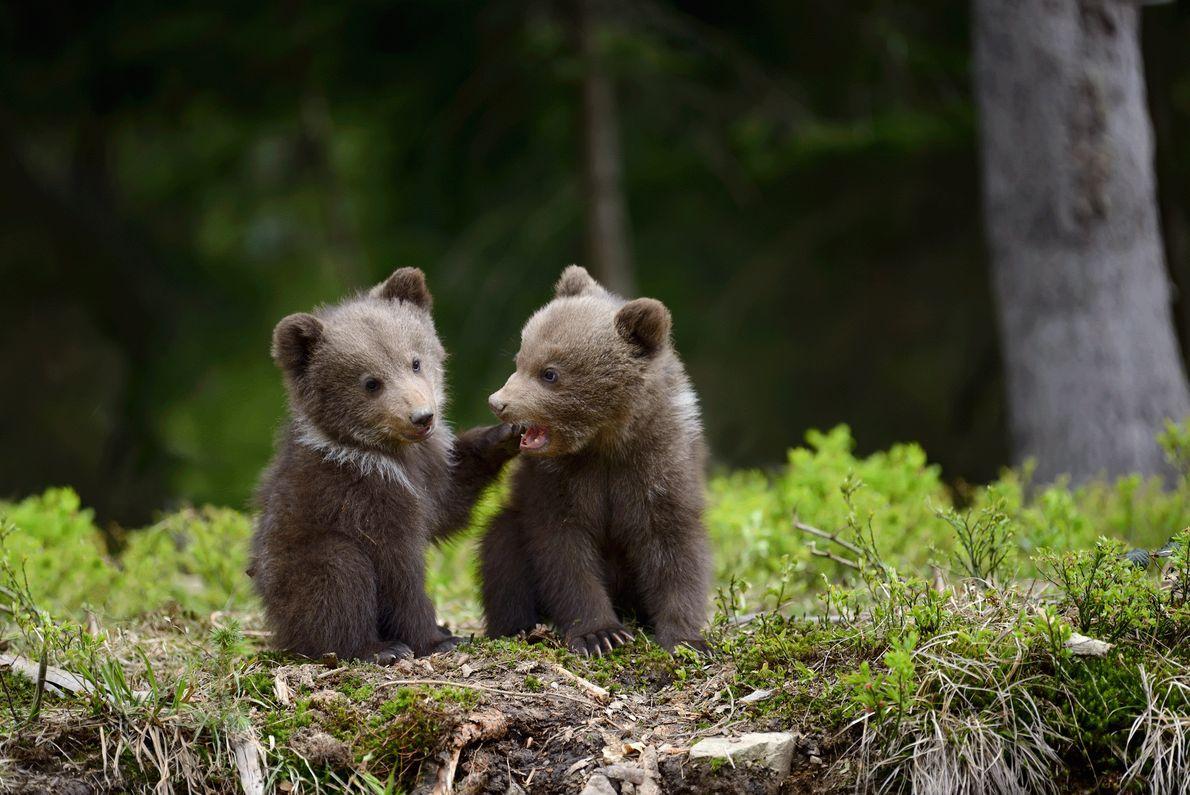 Zwei junge Braunbären in der Ukraine