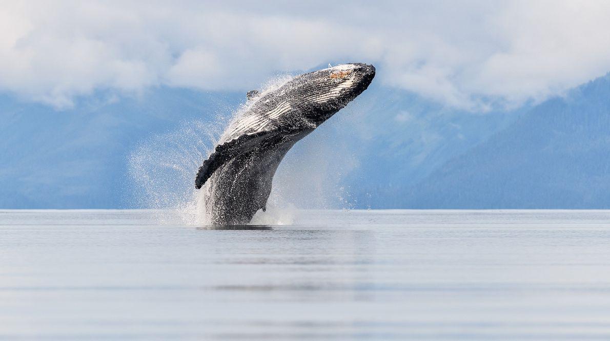 Dieses Foto von einem Wal, der aus dem Meer springt, ist für Your Shot-Fotograf Eric Esterle ...