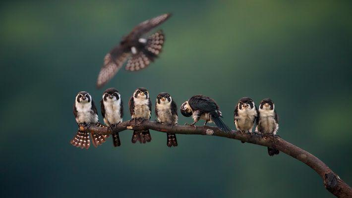 Elsterfälkchen (Microhierax melanoleucos) sitzen auf einem Ast in Wuyuan, Jiangxi, China. Die kleinen Vögel sind nur ...