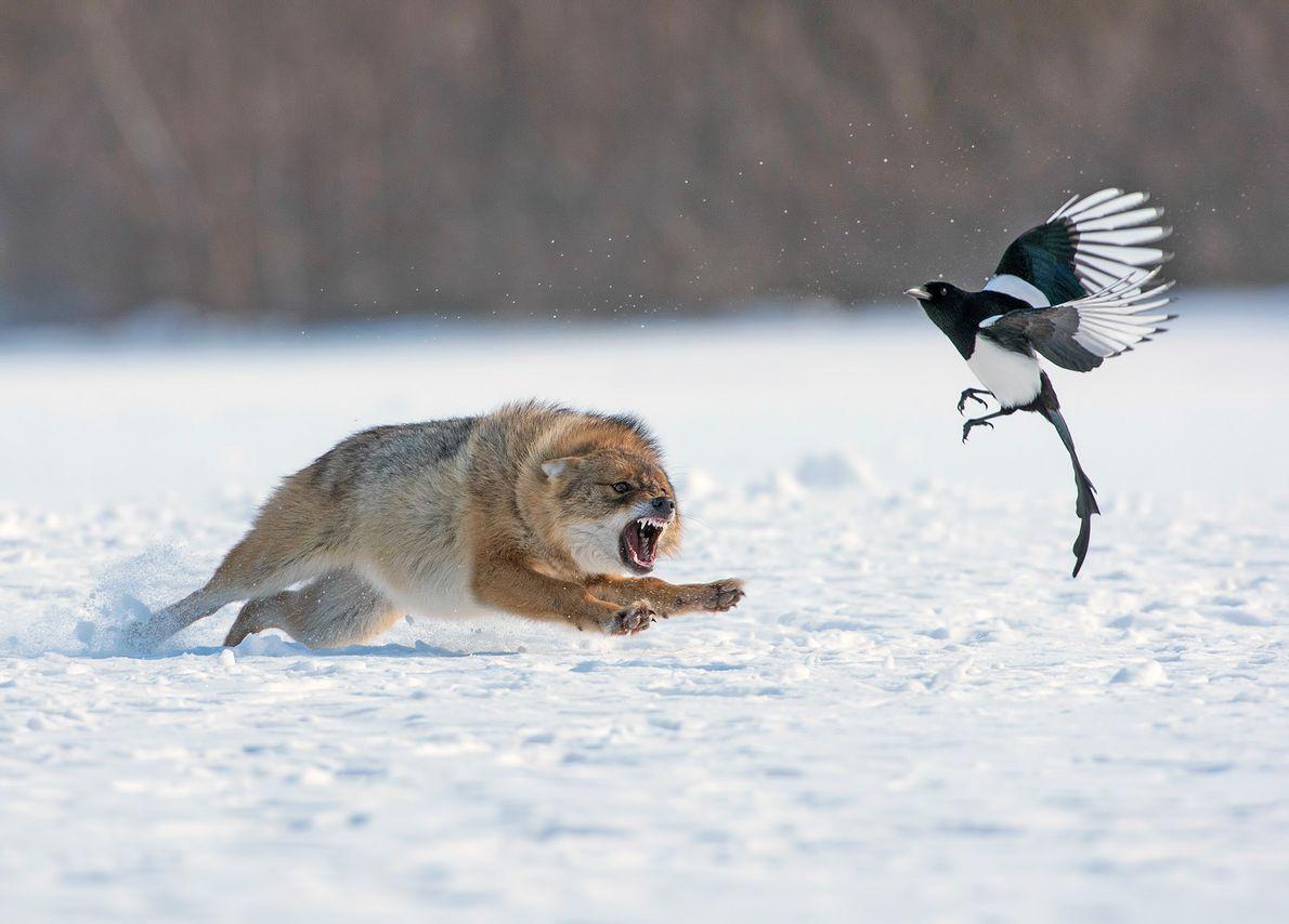 Ein Schakal jagt im Winter einen Vogel fort