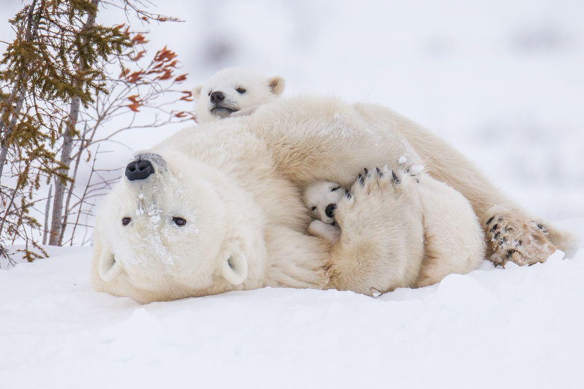Ein Eisbärweibchen und seine zwei Jungen rollen sich im Schnee
