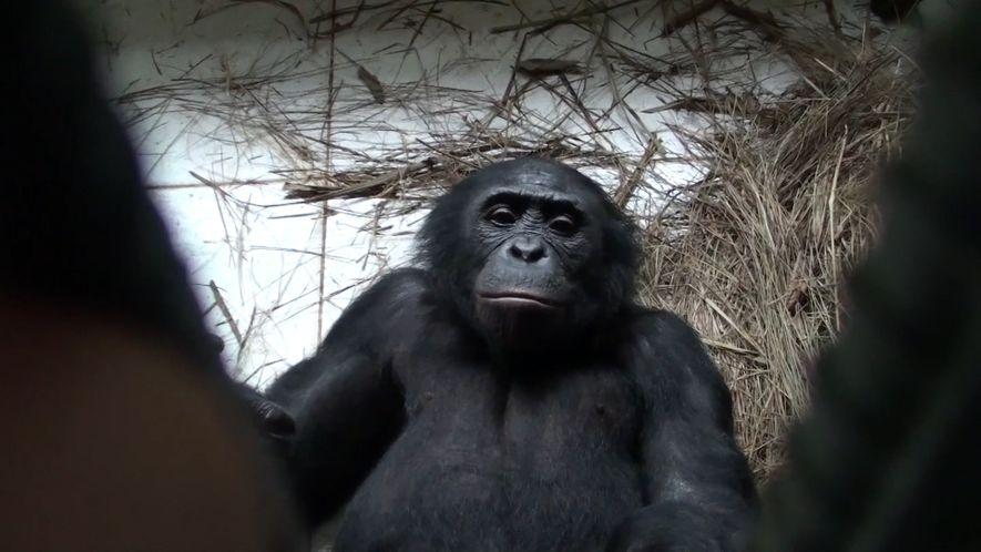 Bonobos zeigen Empathie und helfen Fremden