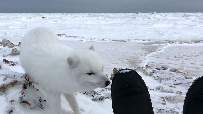 Auge in Auge mit einem niedlichen Polarfuchs