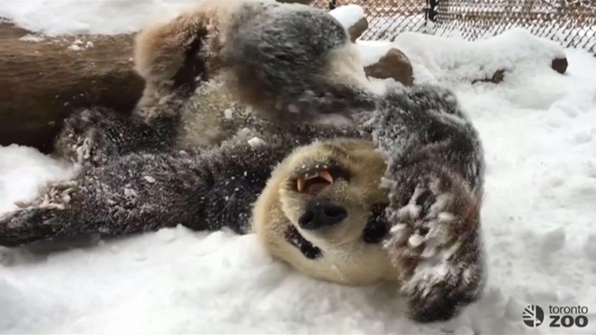 Verspielte Pandas toben durch den Schnee