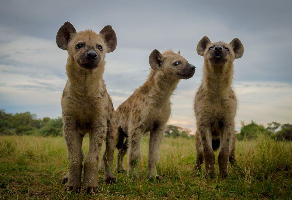 Hyänenjungen