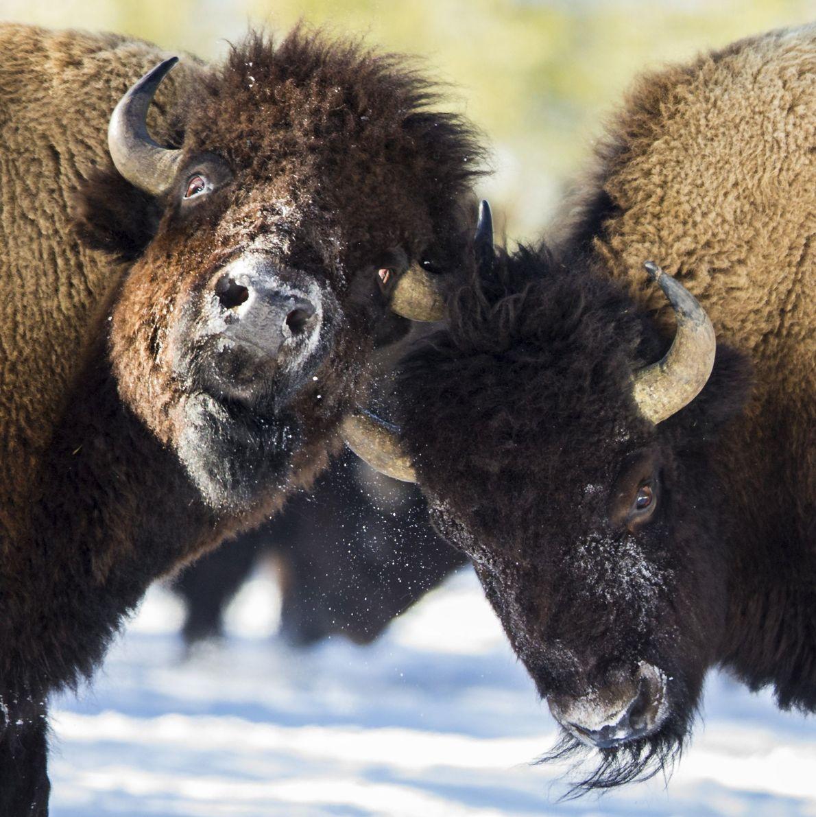 Zwei Bisons kämpfen inmitten der Herde um ihre Rangstellung.