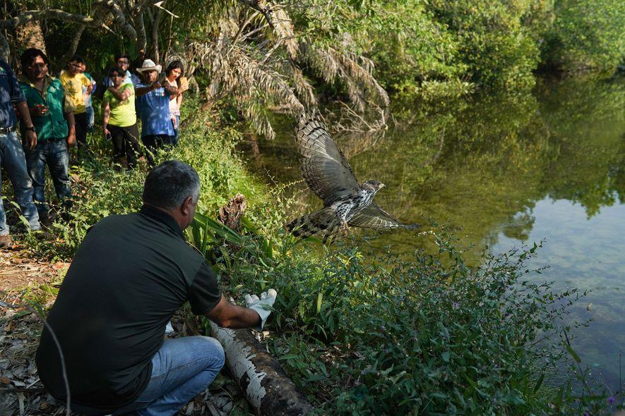 Angestellte des Rettungszentrums in Aguas Calientes und Vertreter der Stadt lassen einen Habicht frei, der sich ...