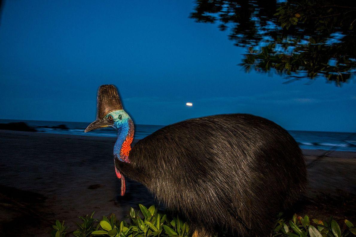 Ein Kasuar-Weibchen bei Vollmond in der Etty Bay, Australien.