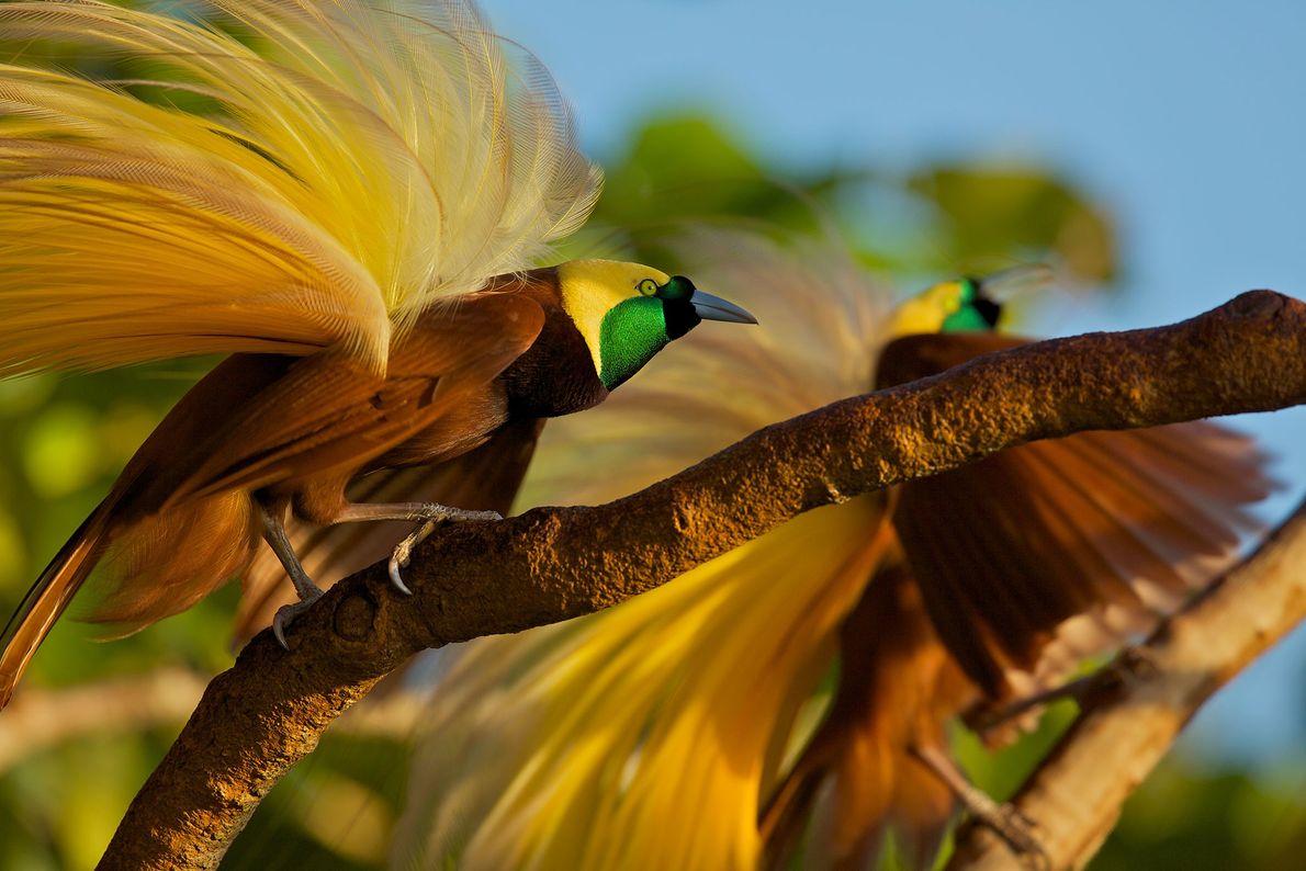 Großer Paradiesvogel. Badigaki Forest, Tanahbesar (Aru-Inseln), Indonesien