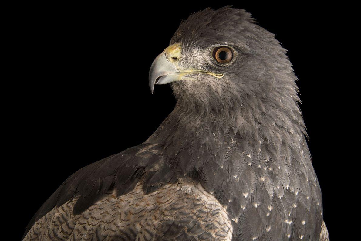 Ein Aguja (Geranoaetus melanoleucus) im Jaime Duque Park. Die Vögel sind fast in ganz Südamerika zu ...