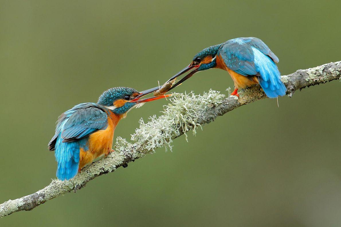 Eisvögel. El Bosque, Andalusien, Spanien