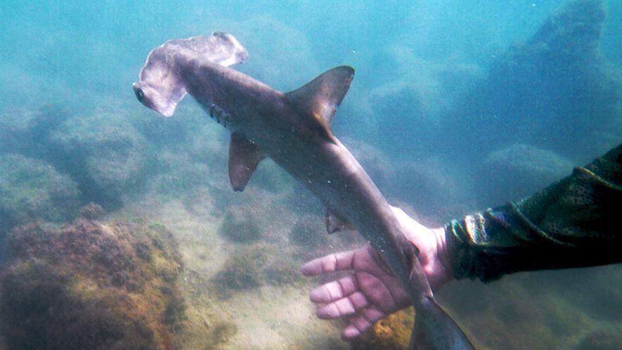 Der Hammerhai-Kindergarten der Galapagosinseln