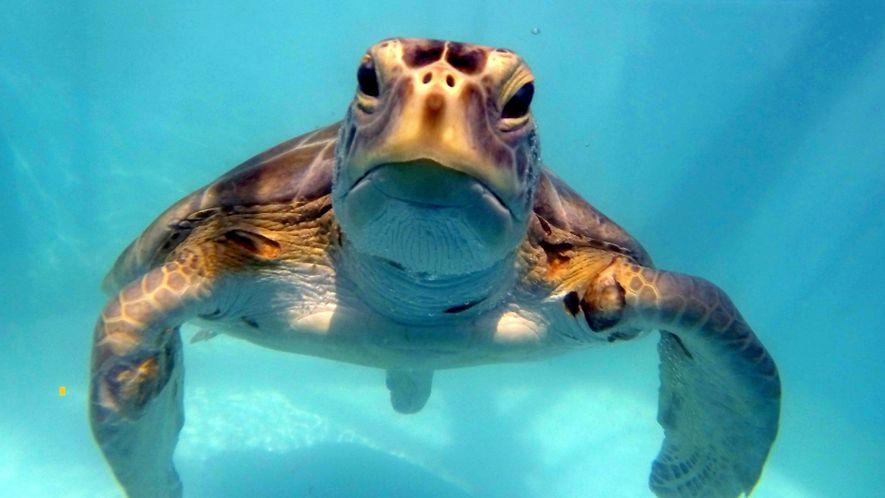 Tumor-Therapien retten Grüne Meeresschildkröten