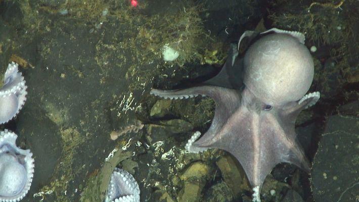 Forscher filmen hunderte Oktopusmütter in großer Tiefe