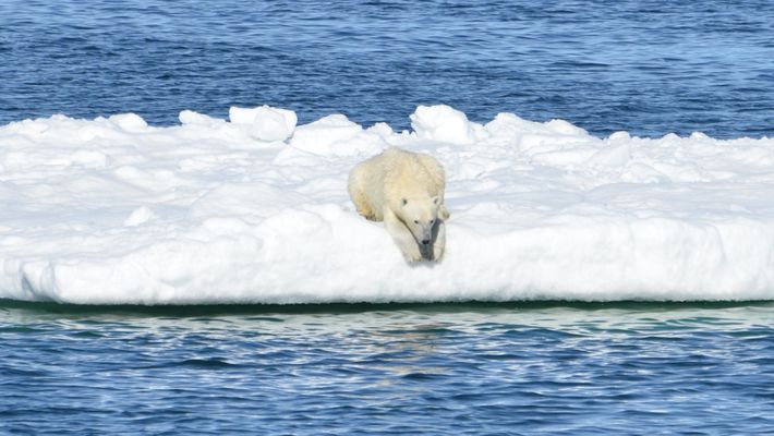 Kamerahalsbänder zeigen Nahrungssuche der Eisbären